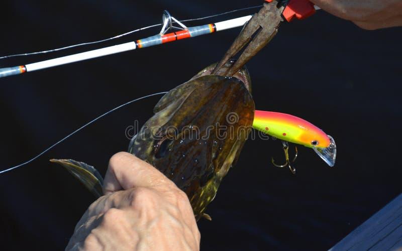 Ψαράς που βγάζει το δόλωμα από το στόμα των λούτσων στοκ φωτογραφία με δικαίωμα ελεύθερης χρήσης