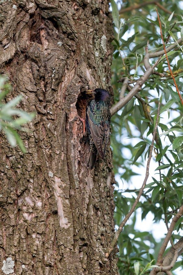 Ψαρόνι στο δέντρο στοκ φωτογραφία με δικαίωμα ελεύθερης χρήσης