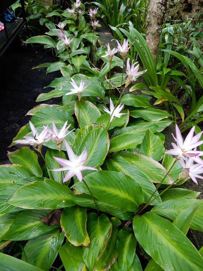 ψαλιδίζοντας απομονωμένο λουλούδι λευκό μονοπατιών κρίνων στοκ φωτογραφία
