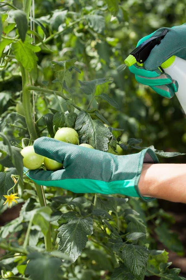 Ψεκάζοντας ντομάτες εργαζομένων κήπων στοκ φωτογραφία με δικαίωμα ελεύθερης χρήσης