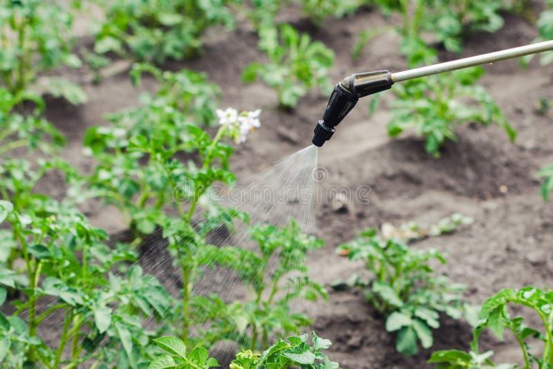 Ψεκάζοντας πατάτες με το δηλητήριο ενάντια στον κάνθαρο πατατών του Κολοράντο στοκ φωτογραφία