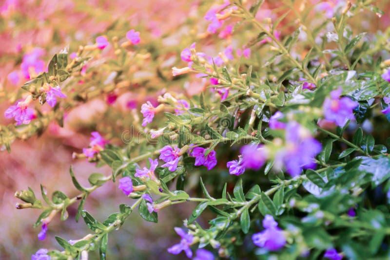 Ψεύτικη ερείκη, μικροκαμωμένο χορτάρι, μικρή πορφυρή ΤΣΕ φύσης άνοιξη λουλουδιών στοκ εικόνες