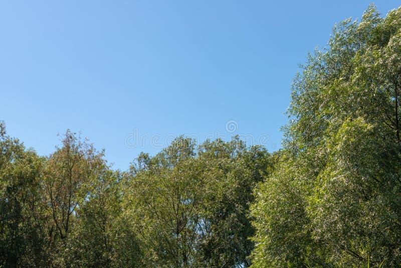 Ψηλά ακτινοβολώντας δέντρα σε ένα μικρό δάσος με το μπλε ουρανό πίσω από τους στοκ εικόνα με δικαίωμα ελεύθερης χρήσης