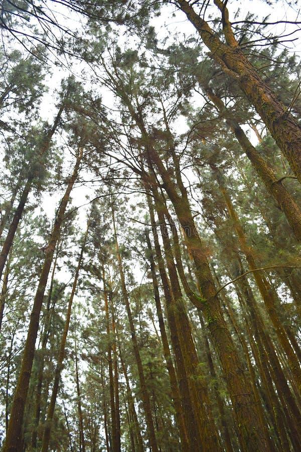 Ψηλά δέντρα πεύκων ενάντια στον ουρανό στη δασική κοιλάδα πεύκων, Vagamon, Idukki, Κεράλα, Ινδία στοκ εικόνες