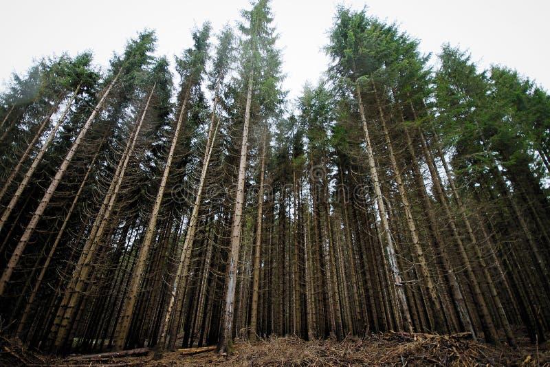 Ψηλά δέντρα πεύκων στο δάσος στοκ εικόνα