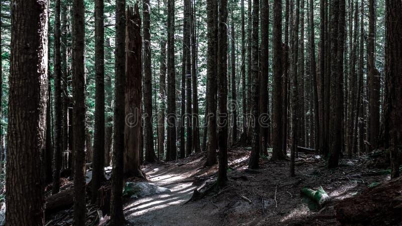 Ψηλά δέντρα στο σκοτεινό δάσος στοκ φωτογραφία με δικαίωμα ελεύθερης χρήσης