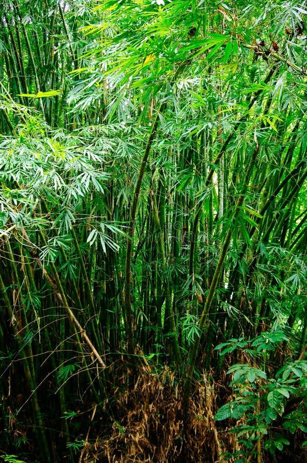 Ψηλά ξύλα μπαμπού δέντρων άνοιξη Κινεζικό μπαμπού στο τροπικό δάσος, θερινή φύση κανένας το περιβάλλον έννοιας προσοχής ανασκόπησ στοκ εικόνα