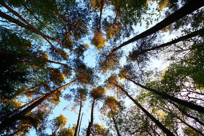 Ψηλά Πεύκα Στο Ανοιξιάτικο Δάσος στοκ φωτογραφίες με δικαίωμα ελεύθερης χρήσης