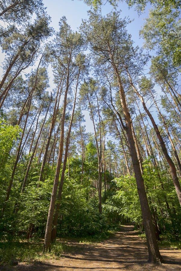 Ψηλά πράσινα δέντρα σε ένα ηλιοφώτιστο πάρκο στοκ εικόνες