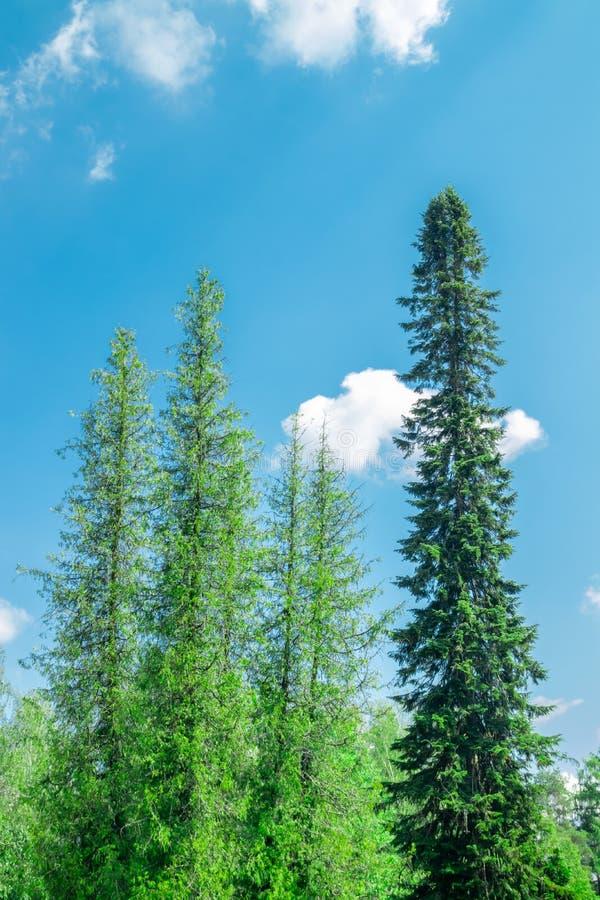 Ψηλές καρφωμένες με τη διχάλα ερυθρελάτες στο πάρκο στο κανάλι Saimaa σε Lappeenranta, Φινλανδία στοκ εικόνα με δικαίωμα ελεύθερης χρήσης