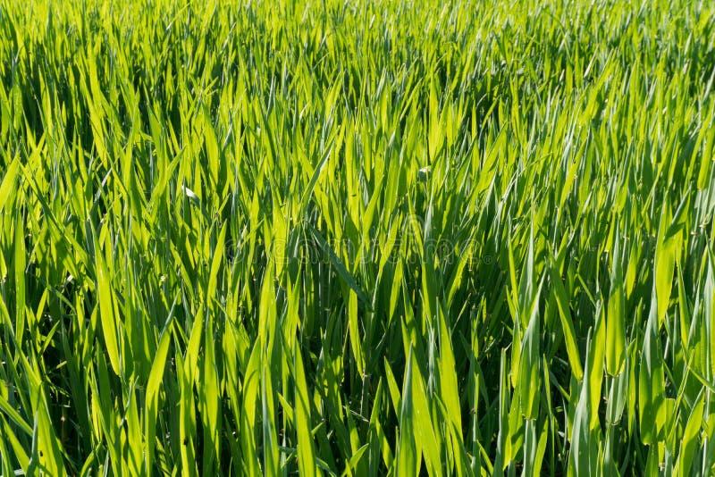 Ψηλές λεπίδες της πράσινης χλόης στο χρυσό θερμό φως βραδιού στοκ εικόνες