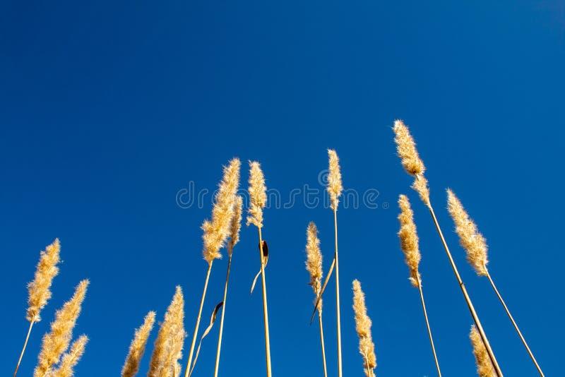 Ψηλή χλόη dandilion που φθάνει στο μπλε ουρανό στοκ εικόνα