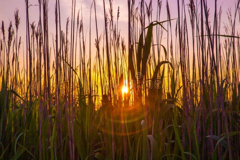Ψηλοί κάλαμοι και ηλιοβασίλεμα χλόης στοκ φωτογραφία με δικαίωμα ελεύθερης χρήσης