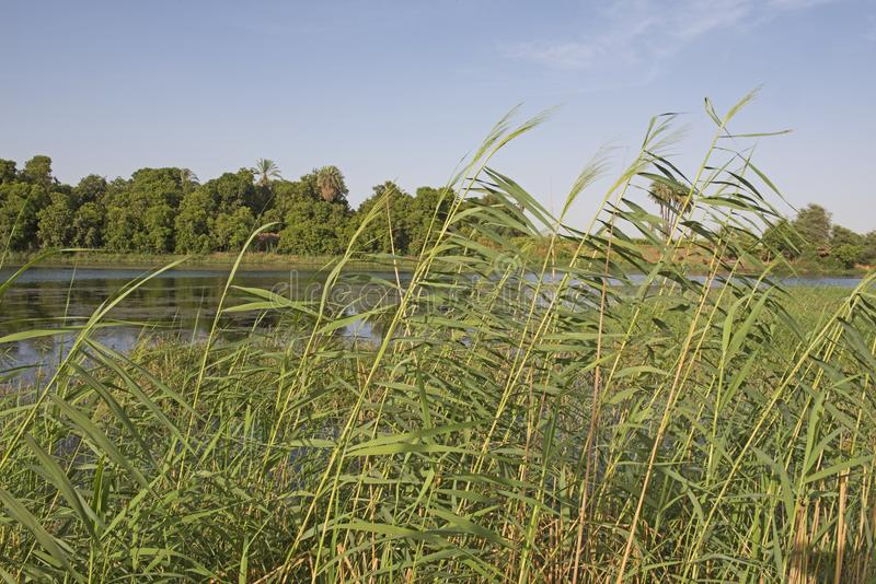 Ψηλοί κάλαμοι χλόης που αυξάνονται κατά μήκος του τοπίου όχθεων ποταμού στοκ φωτογραφίες