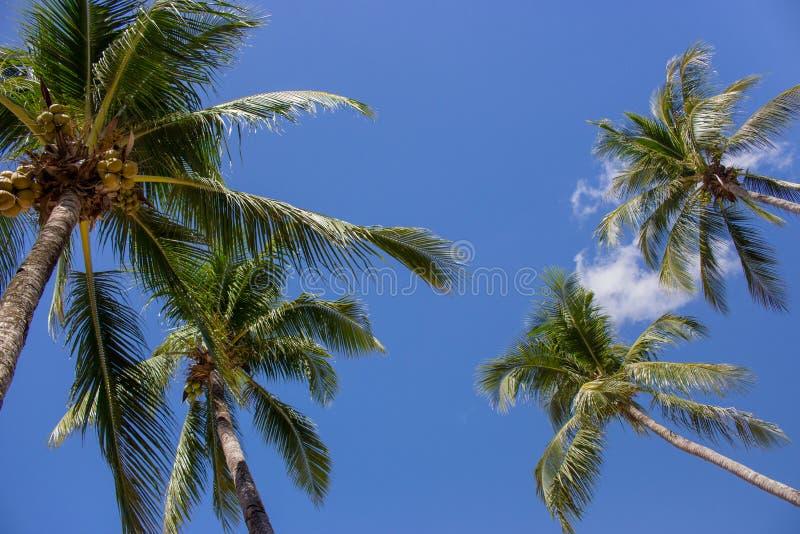 Ψηλοί φοίνικες κατά την κατώτατη άποψη υποβάθρου μπλε ουρανού Φοίνικες με τις καρύδες Εξωτική έννοια εγκαταστάσεων Φοίνικες στον  στοκ φωτογραφίες