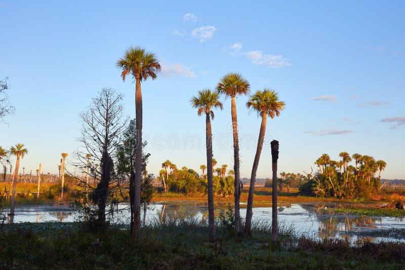Ψηλοί φοίνικες σε μια φυσική περιοχή υγρότοπων στοκ εικόνες με δικαίωμα ελεύθερης χρήσης