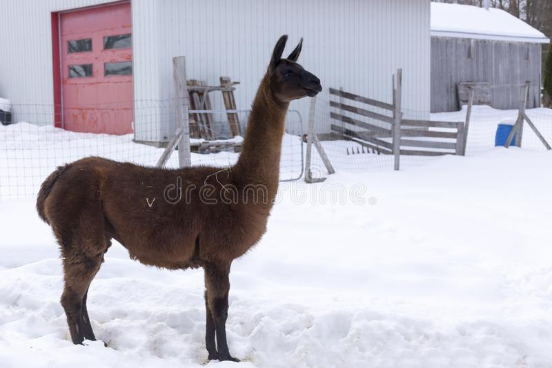 Ψηλό καφετί llama που στέκεται υπερήφανα στο σχεδιάγραμμα στην περιφραγμένη μάνδρα στοκ φωτογραφία