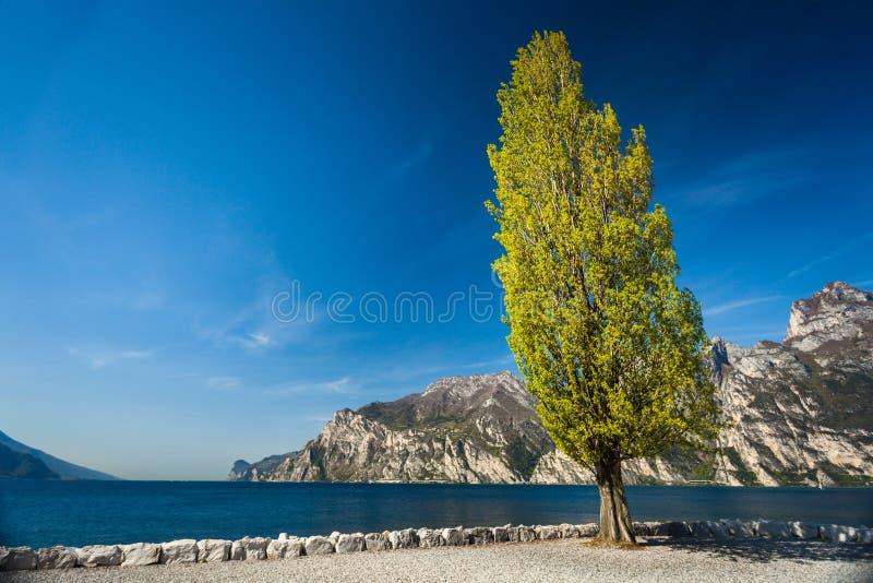 Ψηλό πράσινο δέντρο λευκών κοντά στη λίμνη garda σε Torbole στοκ φωτογραφία