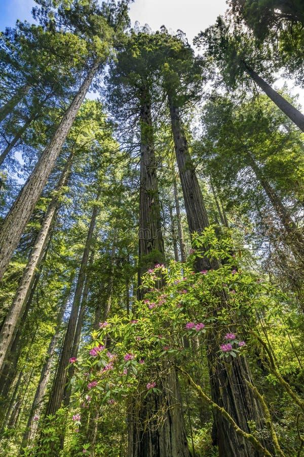 Ψηλό Rhododendron Redwoods δέντρων υψωμένος ρόδινο εθνικό Crescent City Καλιφόρνια πάρκων στοκ εικόνα με δικαίωμα ελεύθερης χρήσης