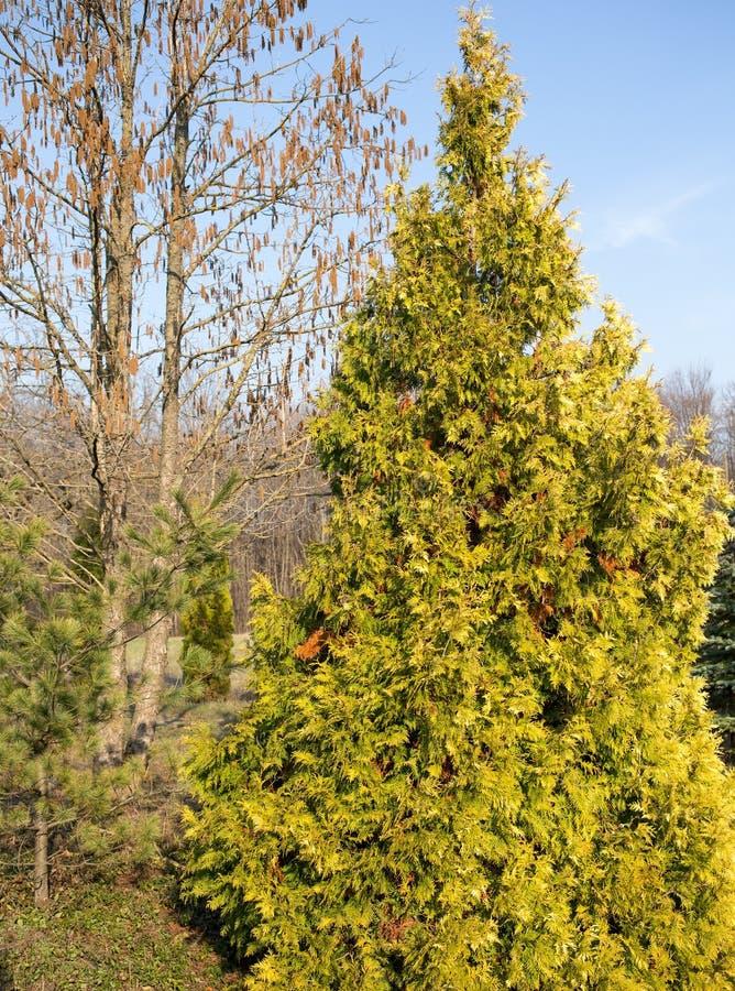 Ψηλό thuja στο πάρκο στοκ φωτογραφία με δικαίωμα ελεύθερης χρήσης