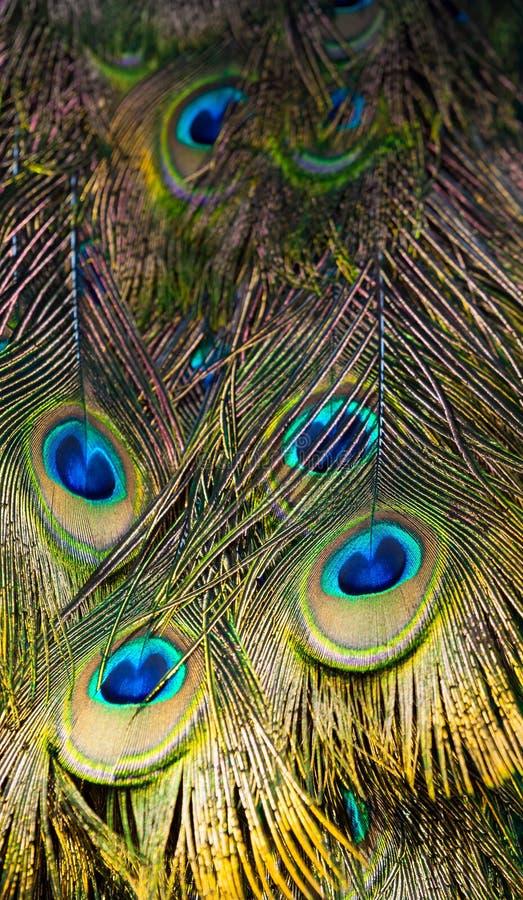 Ψηλό τεμάχιο Peacock με τα ζωηρόχρωμα φτερά στοκ εικόνα