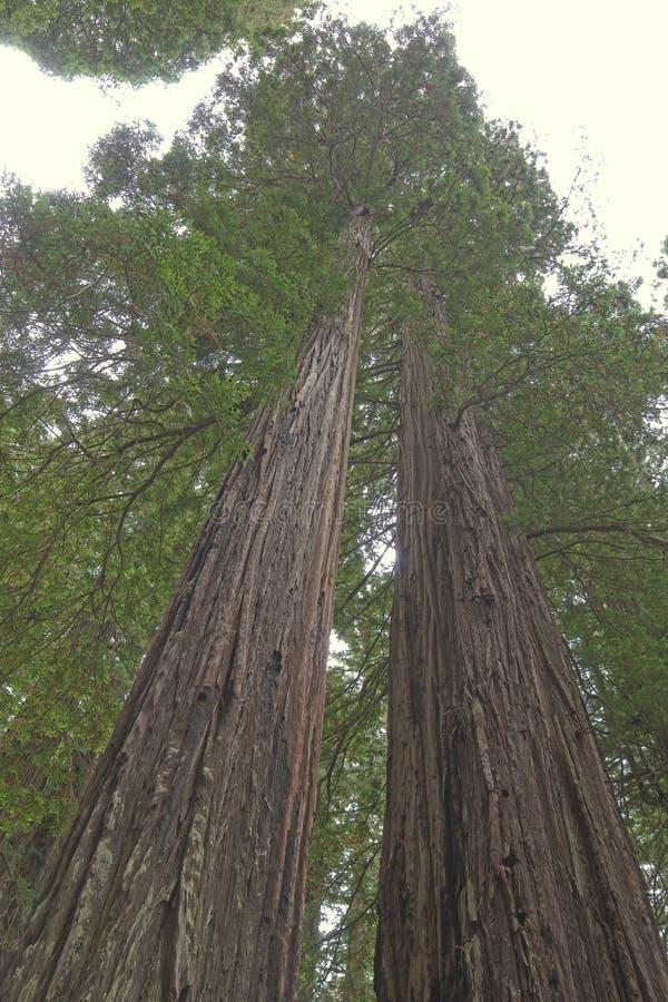 Ψηλό Redwoods στοκ φωτογραφίες