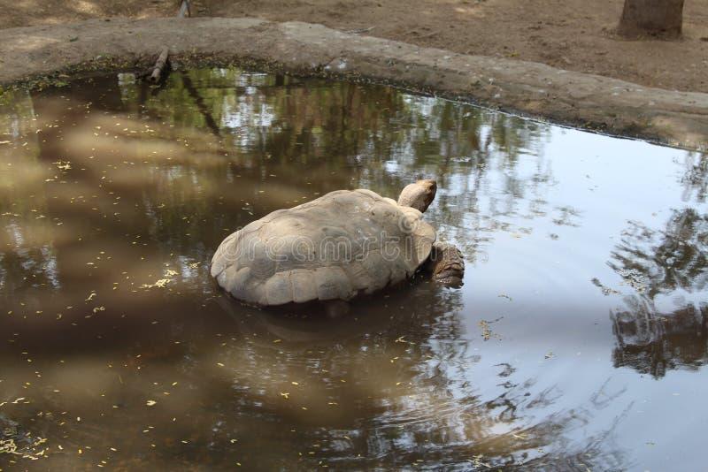 Ψύξη Tortoise μακριά σε μια λίμνη στοκ φωτογραφία με δικαίωμα ελεύθερης χρήσης