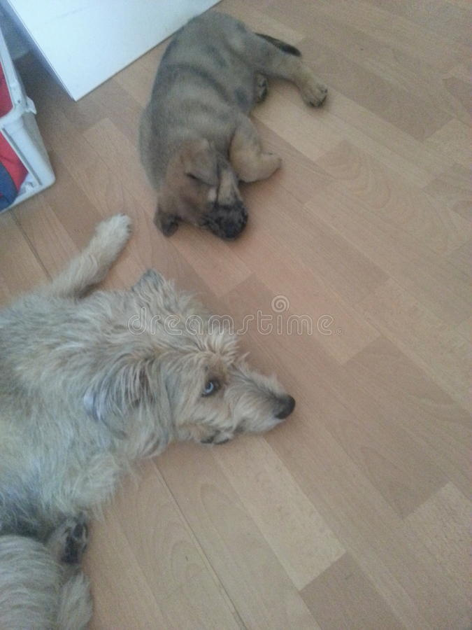 Ψύχρα σκυλιών στο εσωτερικό στοκ φωτογραφία με δικαίωμα ελεύθερης χρήσης