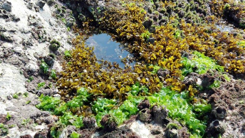 Ωκεάνεια χλωρίδα, θαλασσινά κοχύλια, φύκι Ινδία, Gokarna στοκ εικόνες