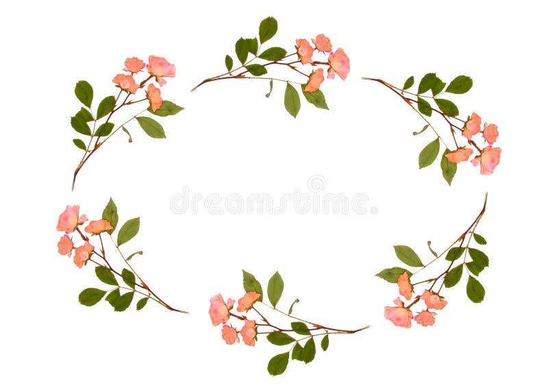 ωοειδή τριαντάφυλλα ελεύθερη απεικόνιση δικαιώματος