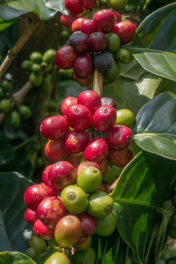 Ωρίμανση φασολιών καφέ στοκ εικόνα