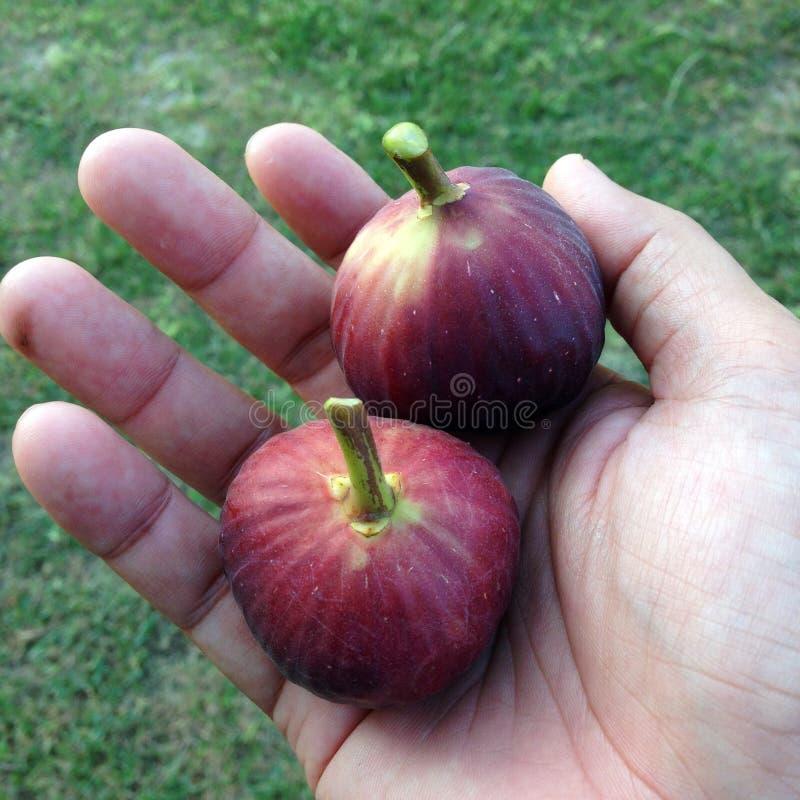 Ωρίμανση φρούτων σύκων υπό εξέταση στοκ εικόνες