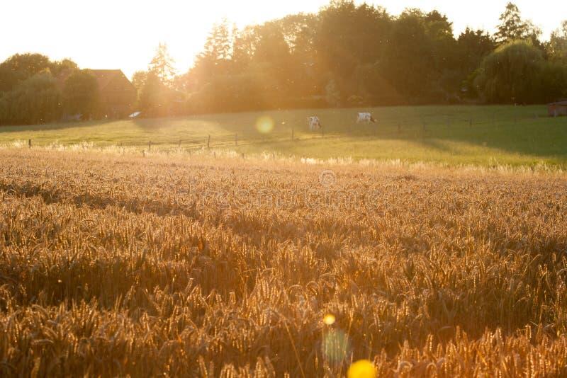 Ωριμάζοντας αυτιά του κίτρινου τομέα σίτου στο νεφελώδες πορτοκαλί διάστημα αντιγράφων υποβάθρου ουρανού ηλιοβασιλέματος των ακτί στοκ εικόνες