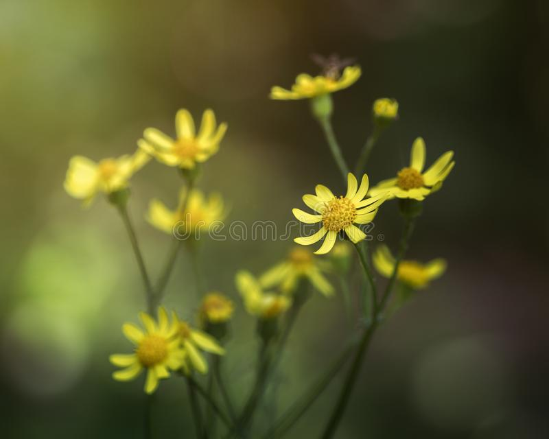 Όλεθρος του λύκου Wildflower ή μακρο προοπτική aconitum στοκ εικόνα
