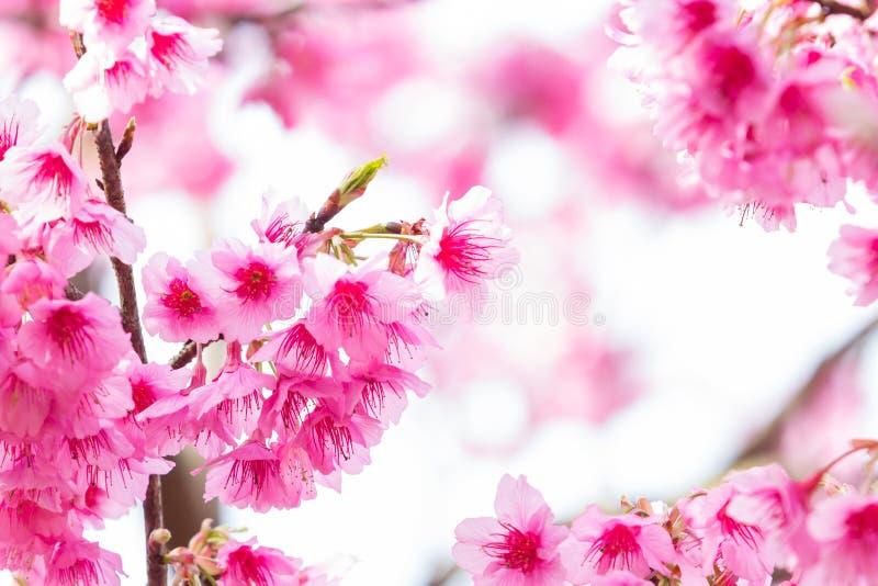 Όμορφα άνθη κερασιών άνοιξη στοκ εικόνα με δικαίωμα ελεύθερης χρήσης