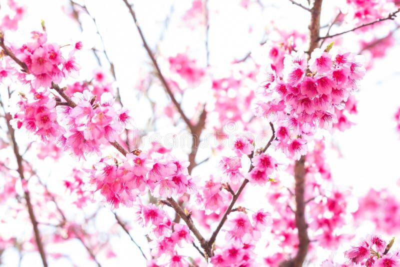 Όμορφα άνθη κερασιών άνοιξη στοκ φωτογραφία