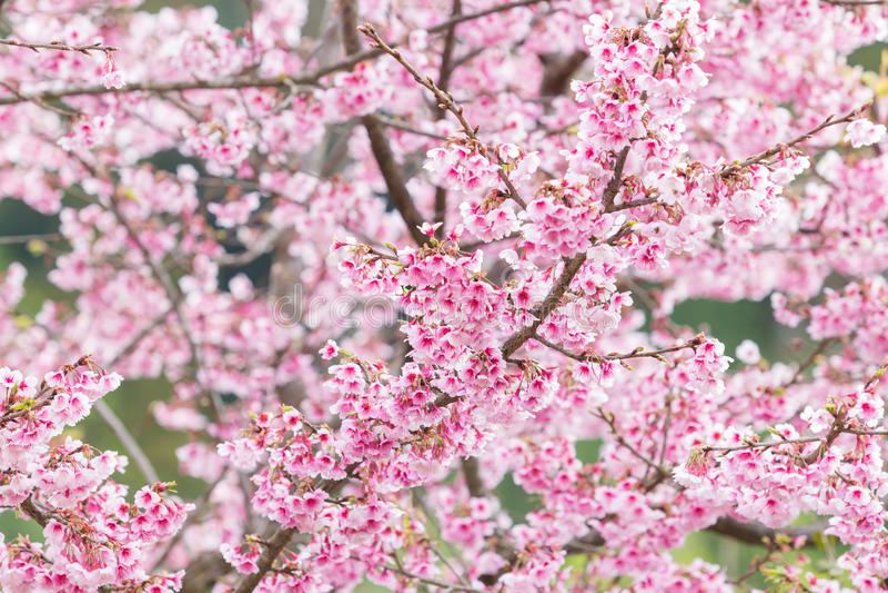Όμορφα άνθη κερασιών άνοιξη στοκ εικόνες