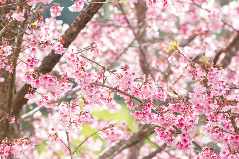 Όμορφα άνθη κερασιών άνοιξη στοκ φωτογραφία με δικαίωμα ελεύθερης χρήσης