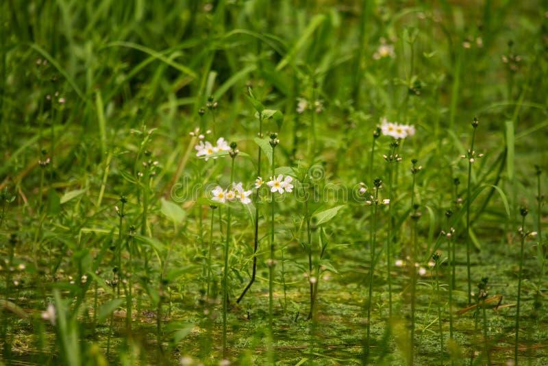 Όμορφα άσπρα λουλούδια bach νερού ιώδη που ανθίζουν στη δασική λίμνη στοκ φωτογραφία με δικαίωμα ελεύθερης χρήσης