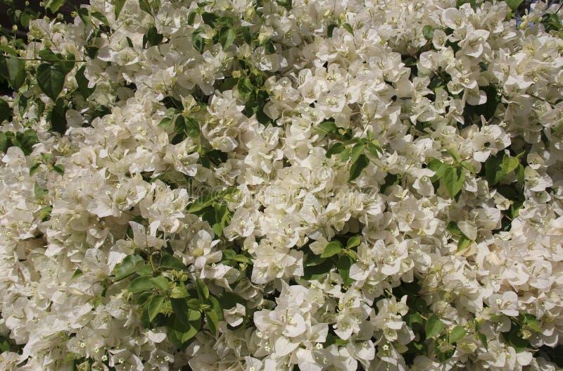Όμορφα άσπρα λουλούδια bougainvillea στοκ φωτογραφία με δικαίωμα ελεύθερης χρήσης