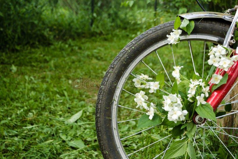 Όμορφα άσπρα λουλούδια jasmine στη ρόδα ενός κόκκινου παλαιού ποδηλάτου στα πλαίσια των πράσινων δέντρων, της κομμένων χλόης και  στοκ φωτογραφία