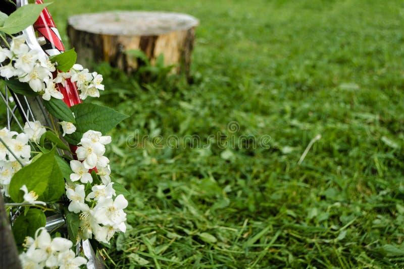 Όμορφα άσπρα λουλούδια jasmine στη ρόδα ενός κόκκινου παλαιού ποδηλάτου στα πλαίσια των πράσινων δέντρων, της κομμένων χλόης και  στοκ φωτογραφίες με δικαίωμα ελεύθερης χρήσης