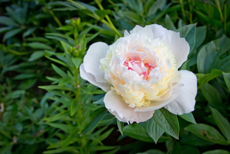 Όμορφα άσπρα λουλούδια άνθισης peonies στοκ φωτογραφίες