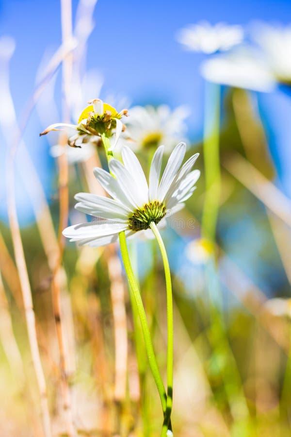 Όμορφα άσπρα λουλούδια στο βουνό @ Ταϊβάν του Ali στοκ φωτογραφίες