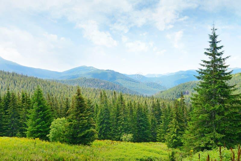 Όμορφα δέντρα πεύκων στοκ εικόνες