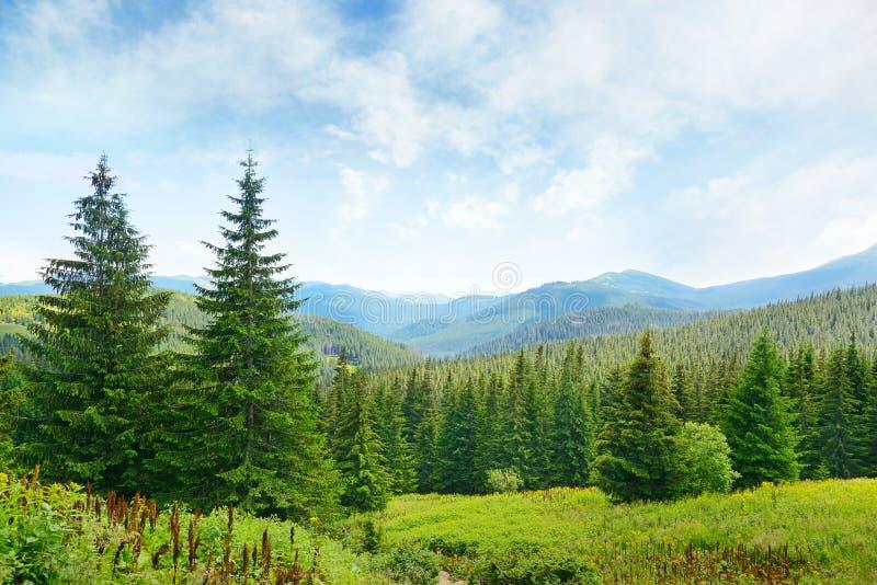 Όμορφα δέντρα πεύκων στοκ εικόνα