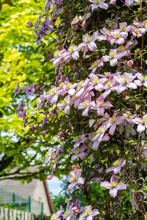 Όμορφα αναδρομικά φωτισμένα λουλούδια clemaits στους κλάδους στην πύλη του κήπου στοκ εικόνα