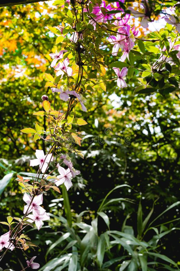 Όμορφα αναδρομικά φωτισμένα λουλούδια clemaits στους κλάδους στην πύλη του κήπου στοκ εικόνες με δικαίωμα ελεύθερης χρήσης
