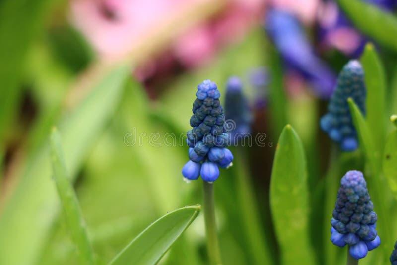 όμορφα ανθίζοντας μπλε λουλούδια στοκ εικόνες
