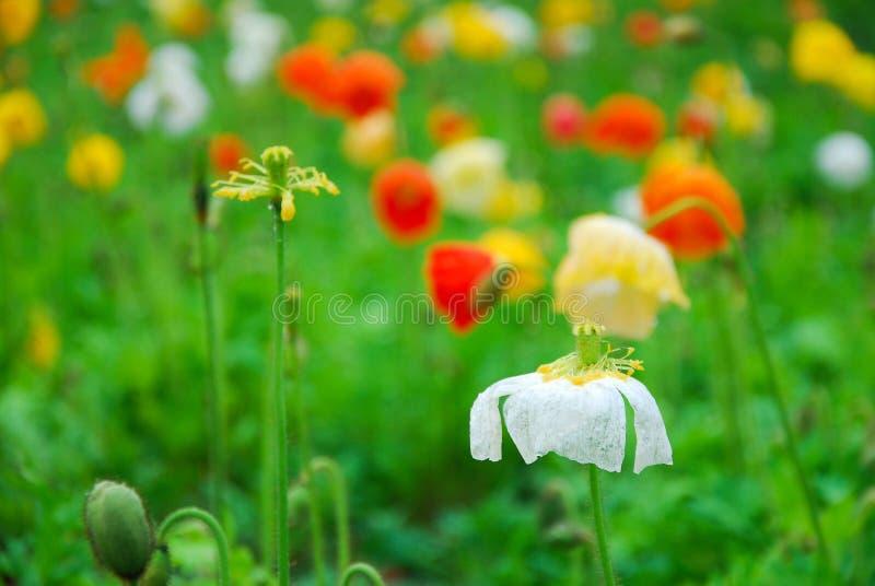Όμορφα ανθίζοντας λουλούδια παπαρουνών καλαμποκιού στοκ εικόνα